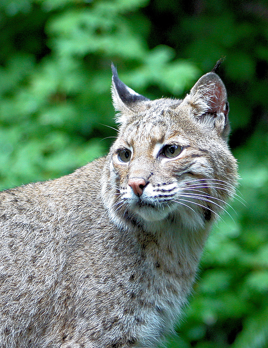 Bobcat Photograph - Oregon Bobcat by Nick Gustafson