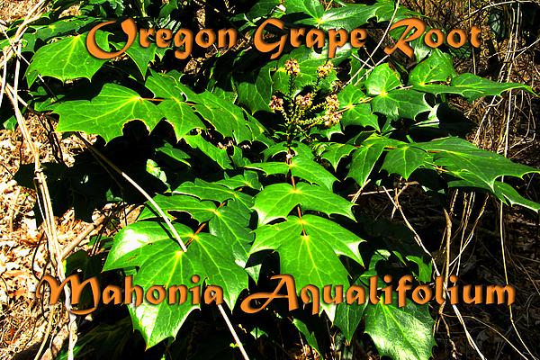Oregon Grape Root Photograph - Oregon Graper Root by Heidi Berkovitz