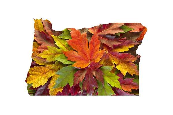 Oregon Maple Leaves Mixed Fall Colors Background Photograph by David Gn