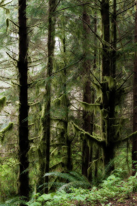 Oregon Photograph - Oregon Old Growth Coastal Forest by Renee Hong