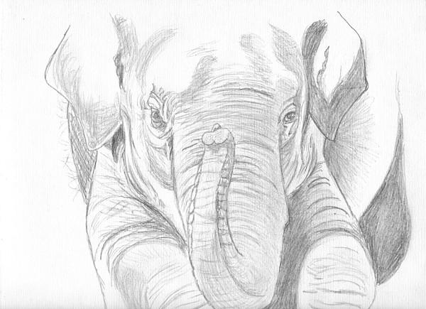 Elephant Drawing - Original Pencil Sketch Elephant by Shannon Ivins