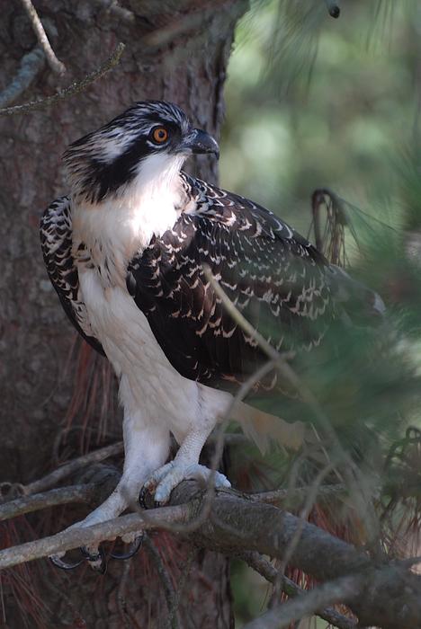 Osprey Photograph - Osprey 40 by Joyce StJames