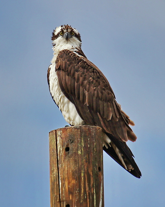North Photograph - Osprey Staredown by Tom Cheatham