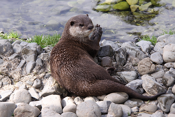Otter Photograph - Otter Playing With Rocks by Stephen Athea
