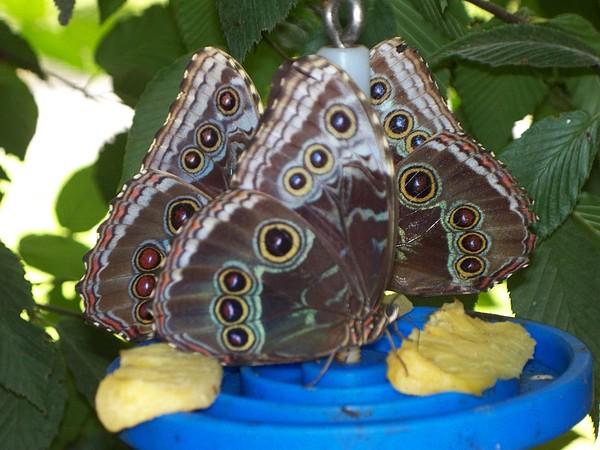 Butterflies Photograph - Owl Butterflies by Rosanne Bartlett