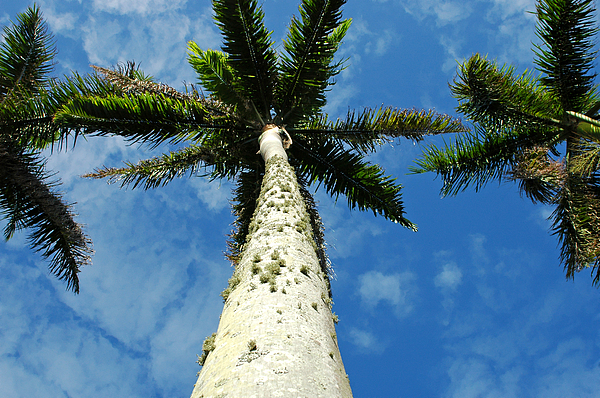 Botany Photograph - Palm Trees by Mary Lane