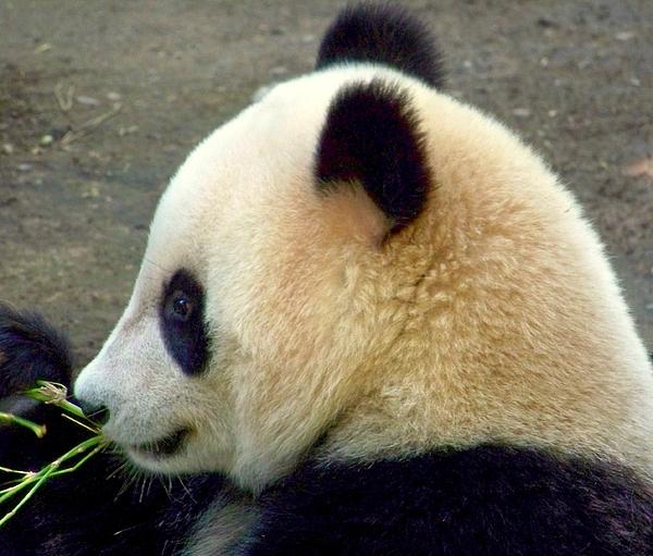 Wildlife Photograph - Panda Snack by Karen Wiles