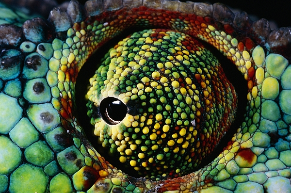 Chameleon Photograph - Panther Chameleon Eye by Daniel Heuclin and Photo Researchers