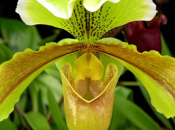 Rosalie Scanlon - Paphiopedilum Orchid