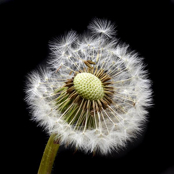 Dandelion Photograph - Parachute Seeds by Terence Davis