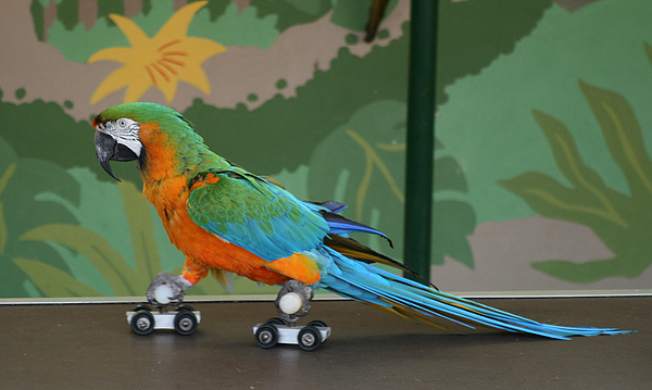 Parrot Photograph - Parrot On Skates by Ruth Hallam