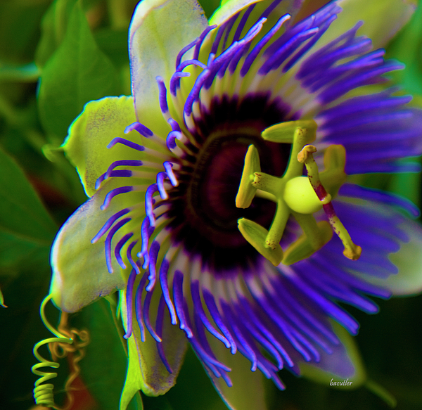 Passion Fruit Flower Pictures