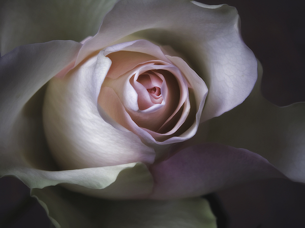 All Photograph - Pastel Flower Rose Closeup Image by Artecco Fine Art Photography