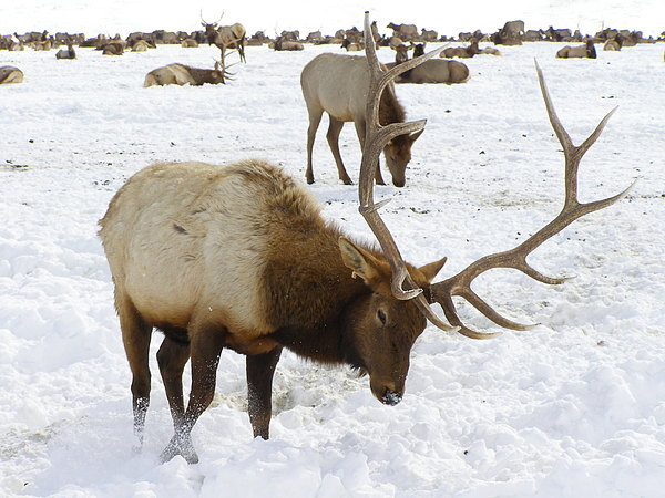 Elk Photograph - Pawing For Food by DeeLon Merritt