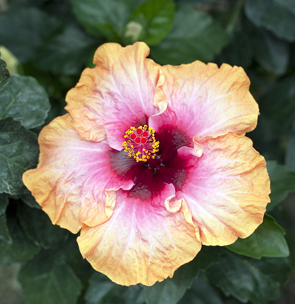 Hibiscus Photograph - Peach And Pink by Mary Haber