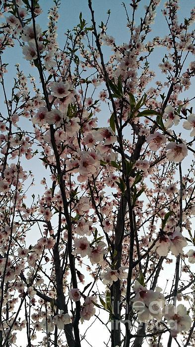 Peach Photograph - Peach Blossoms by Diamante Lavendar