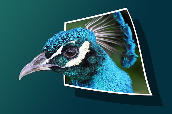 Peacock Photograph - Peacock by Shane Bechler