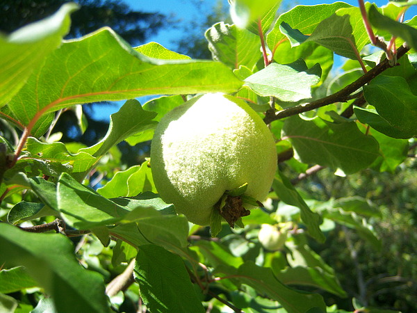 Pear Photograph - Pear by Ken Day