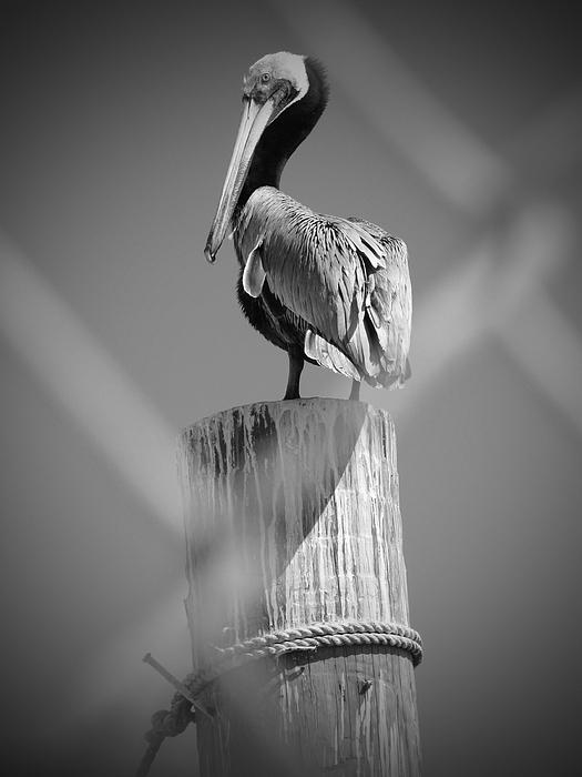 Wildlife Photographs Photograph - Pelican Perched by Megan Verzoni