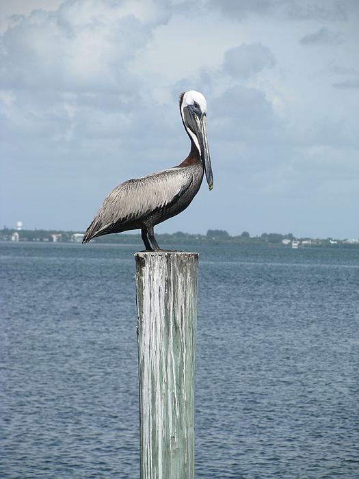 Pelican Photograph by Trisha Dahm