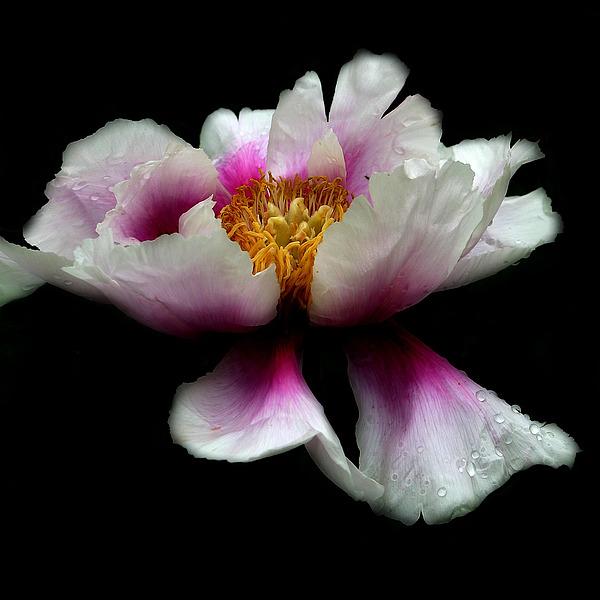 Floral Photograph - Peony No.4 by David Watkins Jr