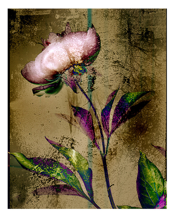 Flowers Photograph - Peony Redux by Geoff Ault