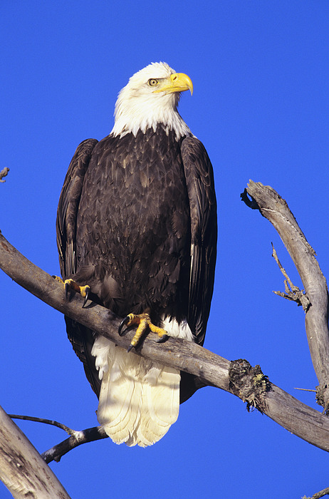 perched bald eagle photograph by john hyde printscapes