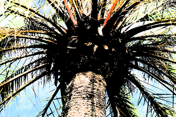 Palm Tree Photograph - Perfect Palm by Nanette Hert