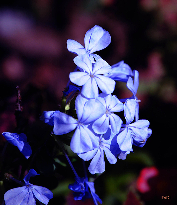 Periwinkle Photograph - Periwinkles by DiDi Higginbotham