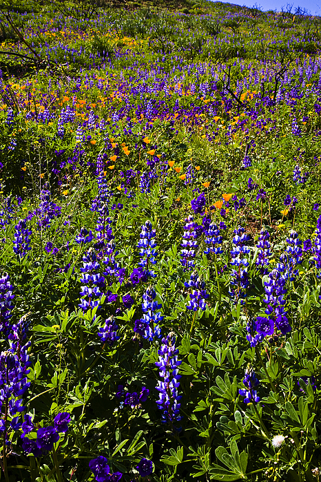 California Photograph - Phacelia Poppies Lupines by Greg Clure