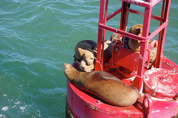 Sea Lion Photograph - Photo by Samantha Kimble