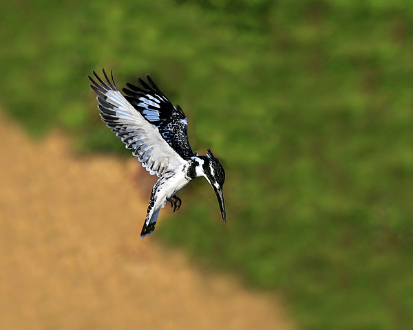 Pied Kingfisher Photograph - Pied Kingfisher by Tony Beck