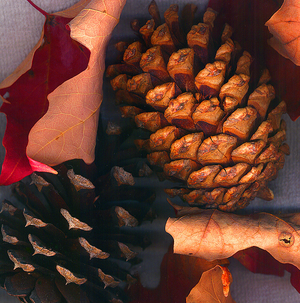 Pine Cones Photograph - Pine Cones And Leaves by Nancy Mueller