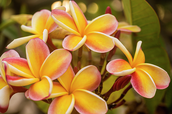 Still Life Photograph - Pink And Yellow Plumeria 2 by Brian Harig