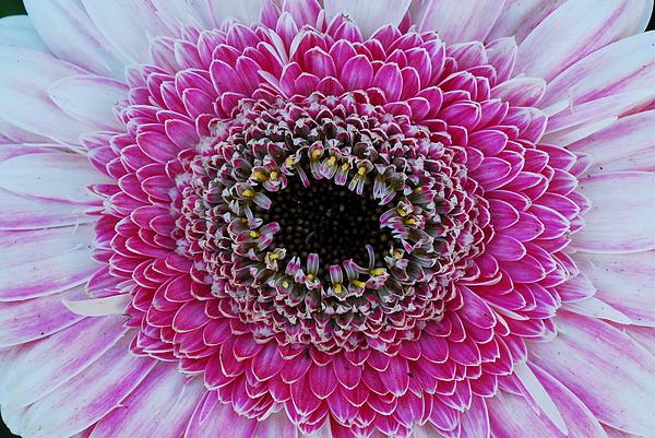 Flower Photograph - Pink Gerber Detail by Kurt Shaffer