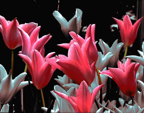 Flowers Photograph - Pink N Silver Tulips by Irma BACKELANT GALLERIES