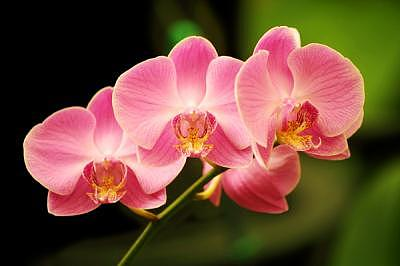 Orchid Photograph - Pink Orchids In Waiting by Deborah  DeAmroim
