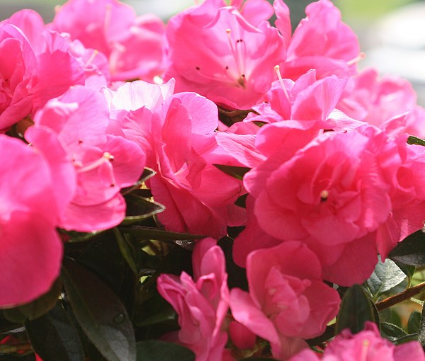 Pink Photograph - Pink Passion by Amy Holmes