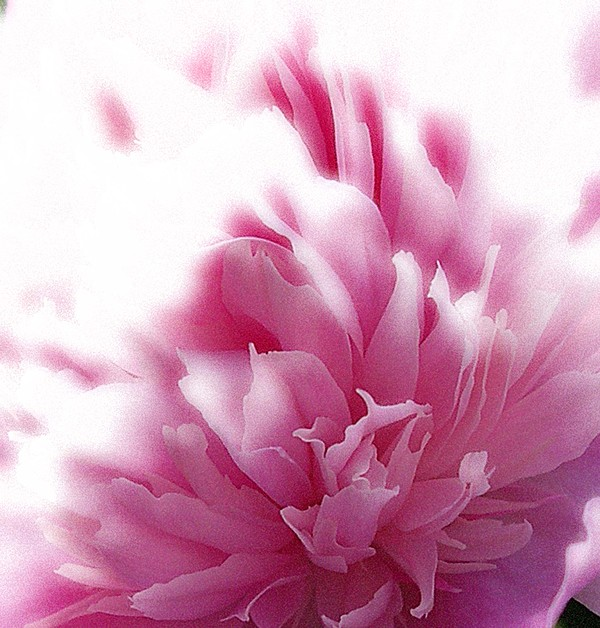 Floral Photograph - Pink Peony by Addie Hocynec