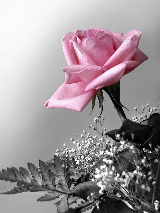 Anniversary Photograph - Pink Petals by Carlos Caetano