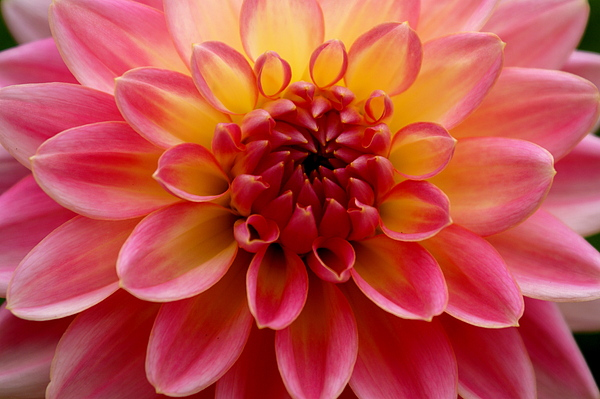 Floral Photograph - Pink Petals by Sonja Anderson