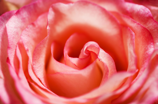 Pink Photograph - Pink Rose by Mary Lane