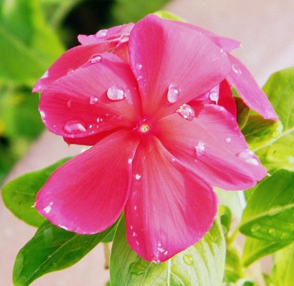 Rain Drops Photograph - Pink Serenity by Hannah Miller