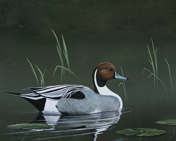 Duck Painting - Pintail Portrait by Don Griffiths