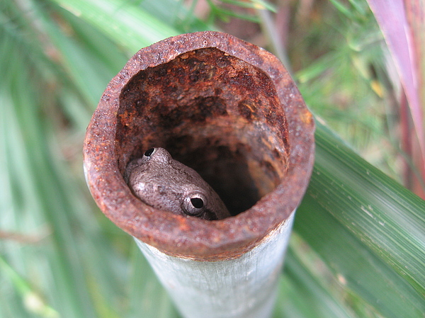 Frog Photograph - Pipe Frog by Thane Hollington