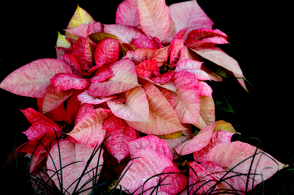 Poinsettia Photograph - Poinsettia by Lyle  Huisken