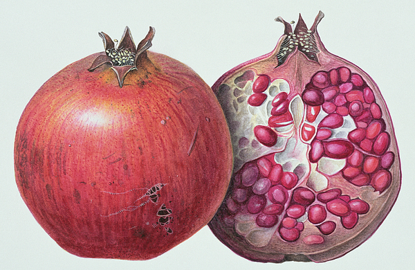 Fruit; Pomegranates; Still Life; Half; Halved; Cross-section; Seed; Seeds; Exotic; Tropical; Pom Painting - Pomegranate by Margaret Ann Eden