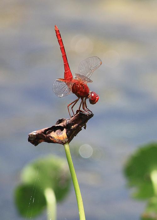 Dragonflies Photograph - Pond Ballerina by Carol Groenen