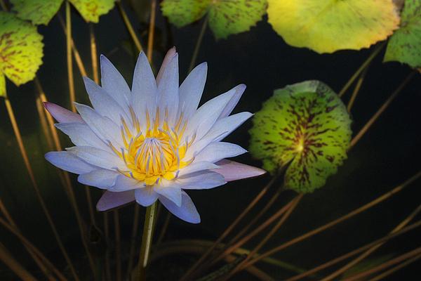 Flora Photograph - Pond Star by Robert Anschutz