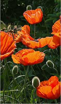 Flowers Photograph - Poppies In The Pines by Willa Davis